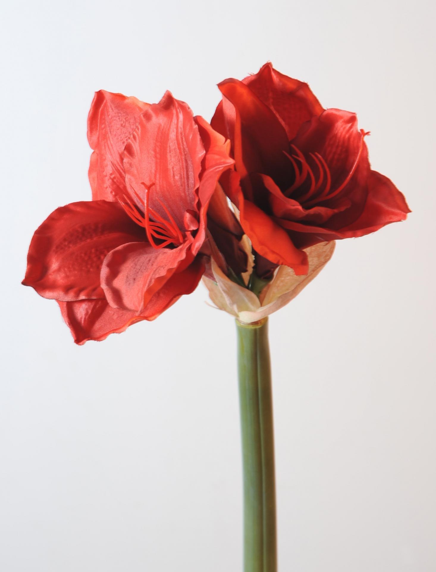 Amaryllis rouge75