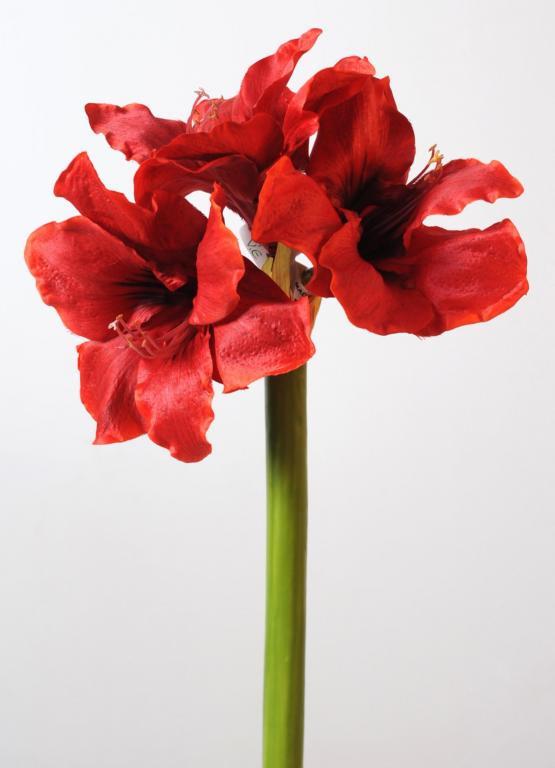 Amaryllis tige 3f rouge