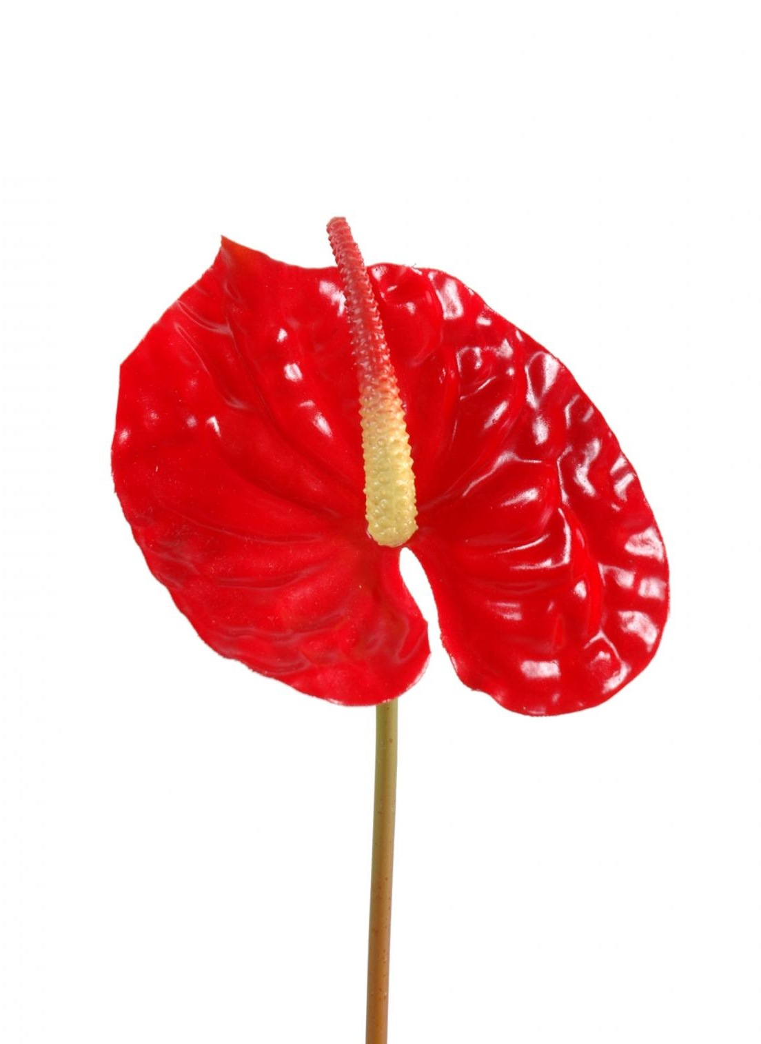 Anthurium rouge 1