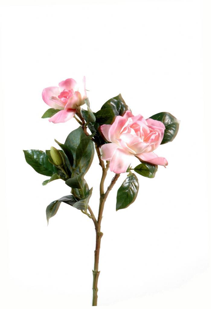 gard-rose.jpg