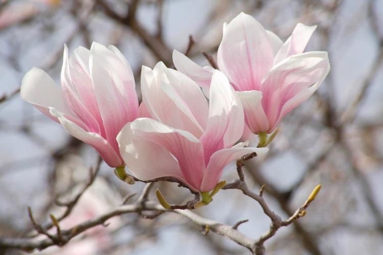 Magnolia2