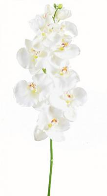 orch-blanc-8f.jpg