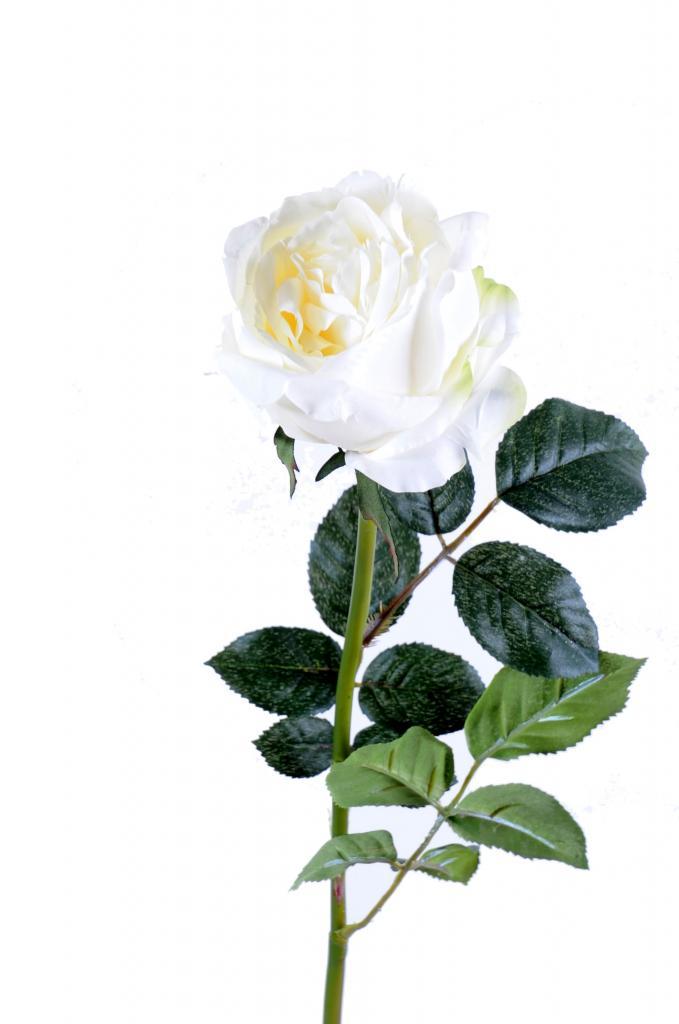 rose-ang-blanc.jpg