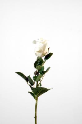 Rose joey bouton ouvert