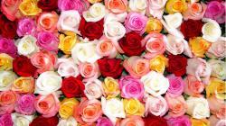 Roses couleur au choix