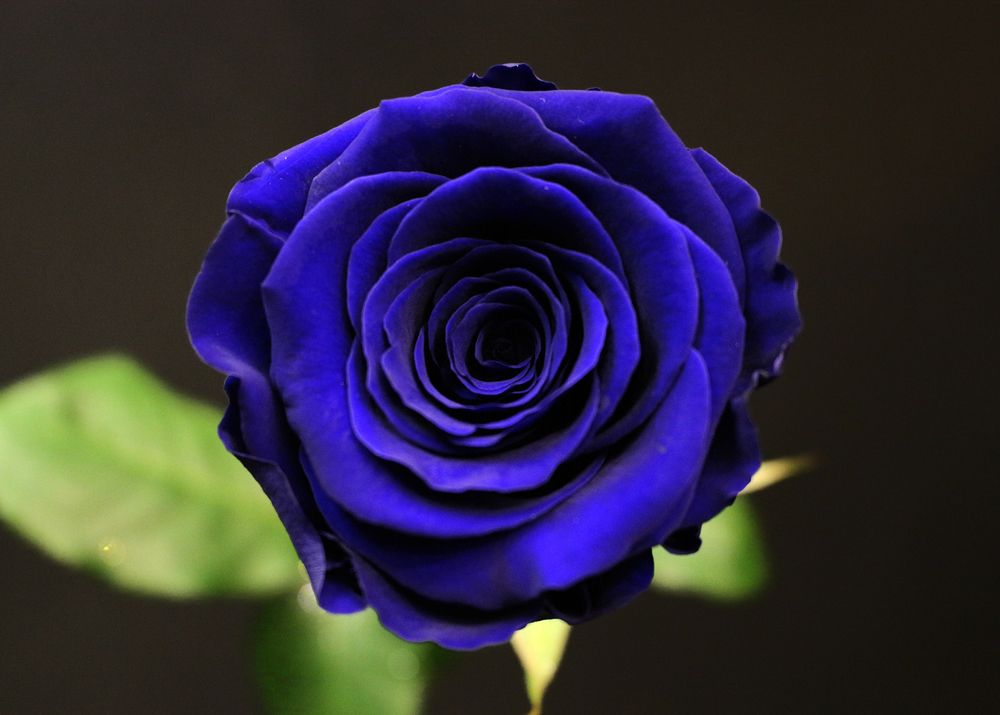 Bouquet 3 roses bleu