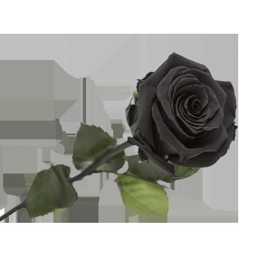 Rose e ternelle noire