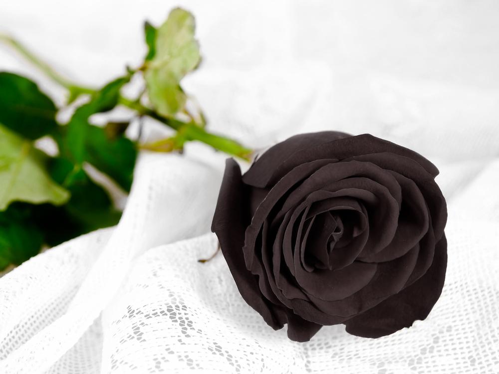 Rose noire fleur couleur signification
